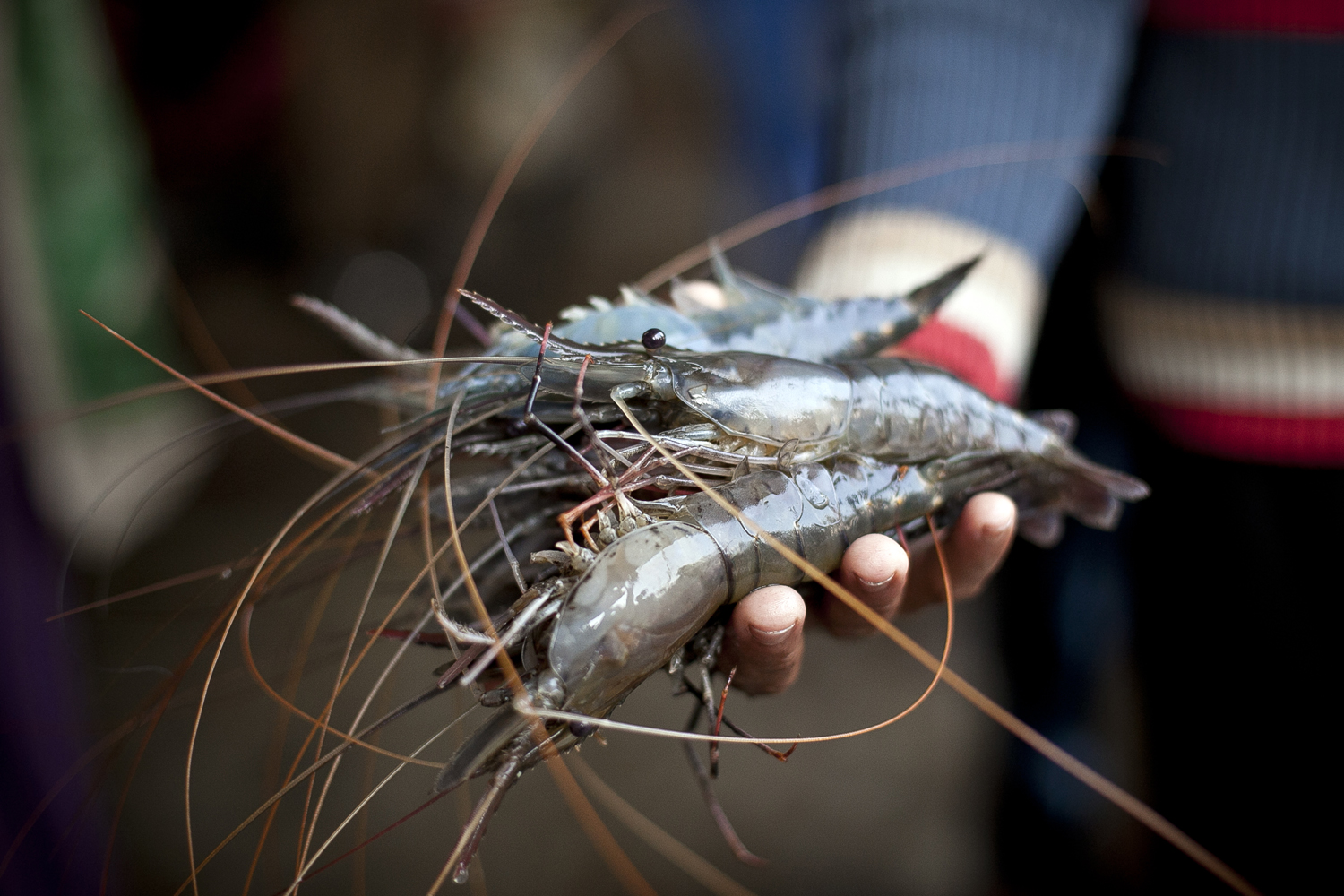 Bangladesh's Shrimp Industry Accused Of Worker Exploitation